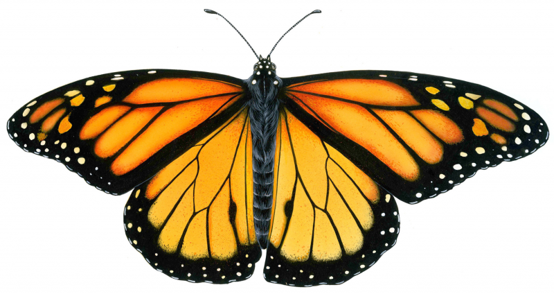 AD-Gardening---Monarch-Butterfly-8-inch-wide